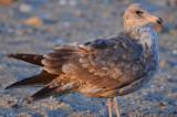 mystery_gulls