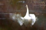tundra swan dover ma