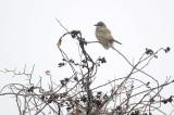 cassin's kingbird cherryhill res