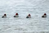 redhead ducks plum island (the fab four)