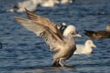 niles pond gloucester strange gull