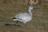 imm. snow goose ball filed at lynn/nahant rotary