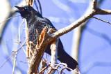tricky crow, blind one eye nahant beach country club