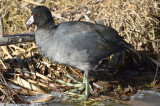 american coot niles pondgloucester