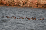group of 93 Scaups heads all tucked away Kings beach Lynn/Swampscott