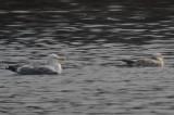 small_runt_looking_herring_gull