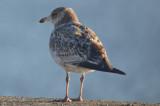 ring-billed_gull_juv_plumage_in_feb