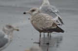 unidentified_confusing__gulls