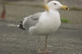 presumed_herring_x_great_black-backed_hybrid_salisbury_