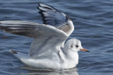 brace_cove_blackheaded_gull_21012