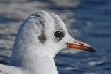 1st yr black-headed gull