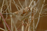 field sparrow wellfleet bay wildlife sanctuary ma.