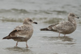interesting gull white lesser coverts almost all black bill emerson rocks plum island