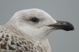 1st yr great black-backed gull gloucester