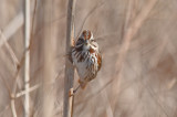 song sparrow little farm newbport
