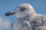 2nd yr herring gull gloucester