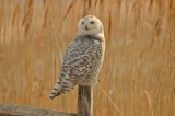 snowy owl hellcat dike plum island