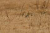 eastern meadow lark william forward WMA rowley