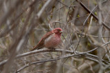 purple finch plum island