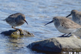 purple sandpiper and dunlin plum island