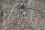 bluebird  royalston ma