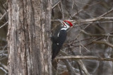 pileated wp royalston ma
