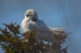 20120323-DSC_7139.jpgsnowy owl pines trail plum island
