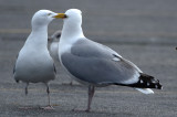 how sweet herring gulls salisbury
