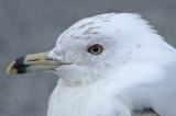 ring-billed gull salisbury