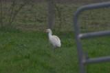 cattle egret ipswich ma