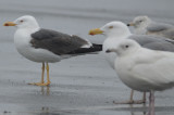 lesser black backed gull, herring ,and iceland?