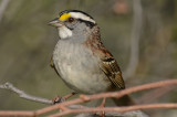 white-throat plum island