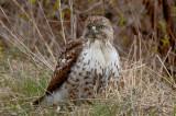 redtailed hawk great meadows