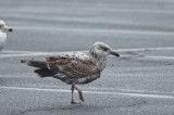 1st yr lesser black-backed gull salisbury state res