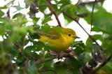 female yellow warbler pi airport