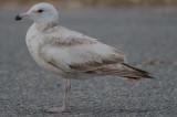 worn herring gull 2nd year salisbury