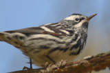 black and white warbler plum island