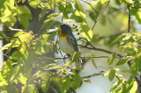 parula with a lot os rusty color on flanks plum island