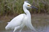 snowy egret plum island