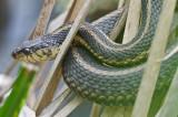 garter snake great meadows