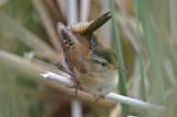 marsh wren great meadows