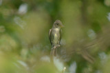 olive-sided flycatcher plum island