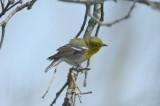 yellow-throated vireo jb little road