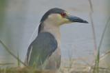 black-crowned night heron plum island