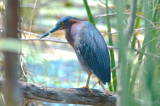 green heron center st marsh