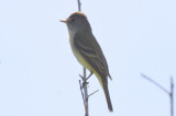 unidentified flycatcher plum island