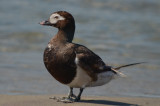 long-tailed duck sandy point plum island
