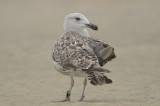 great black backed gull 2nd year band indicates appledore gull