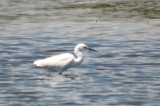 mystery egret, note darkish lores, dusky tips to primaries hybrid little bluexsnowy maybe