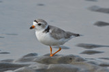 piping plover sandy point pi